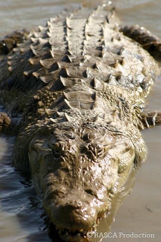 08012011-08012011-mare crocodiles 08-01_0378